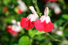 Close-up Of Salvia Microphylla Flowers In The Garden.