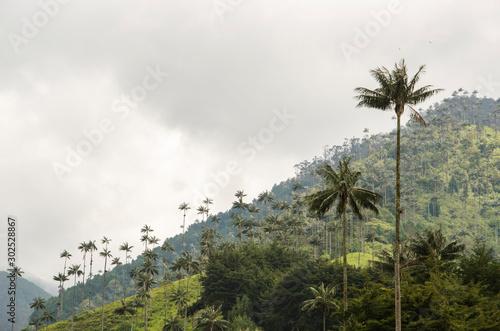 Garden Poster Retro Quindio wax palms, Ceroxylon quindiuense, in the Cocora Valley