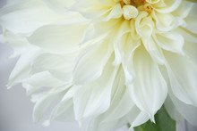 Close Up Of A Single White Dah...