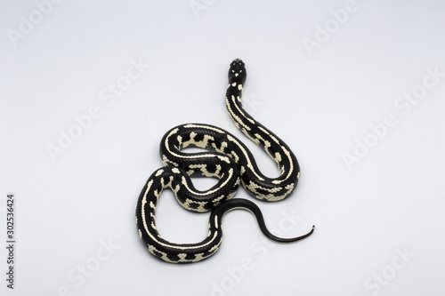 Aberrant California King Snake Canvas Print