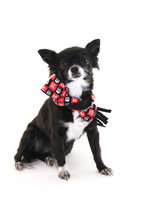 Chihuahua Wearing Scarf  With ...