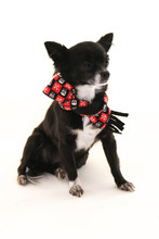 Chihuahua Wearing Scarf  With Ears Sticking Up On A White Background