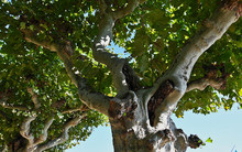 View Up Into A Shady Elm Tree With Pruned Trunk And Branches In Germany