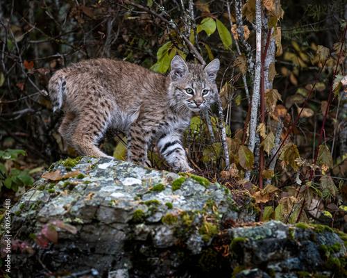 Vászonkép Bobcat Kitten Oakley