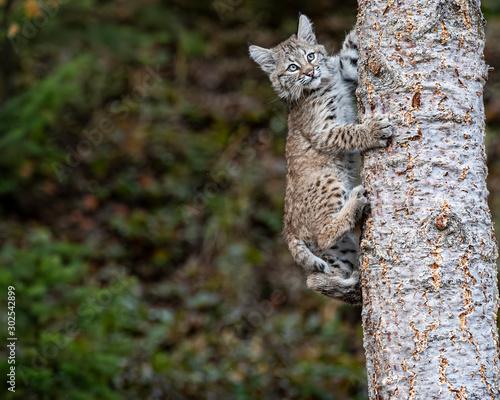 Bobcat Kitten Oakley Canvas Print