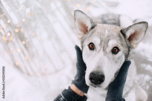 Fotografía  owner gently touching grey mixed breed dog, close up portrait