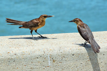 Grackles Competing For Food In...