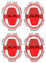 Teeth. Oral Cavity. Vector Illustration Of The Oral Cavity With Teeth That Are Numbered For Dental Clinics, Posters, Brochures.