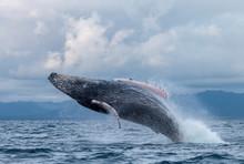 Yubarta Or Humpback Whales (Me...