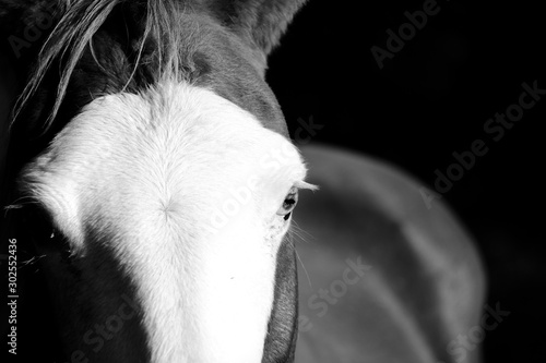 Fototapeta Close up portrait of horse with bald face marking in black and white. obraz na płótnie
