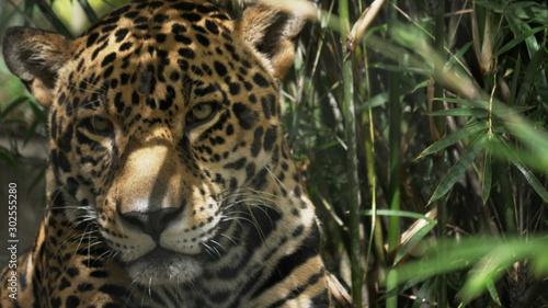 close up front view of a jaguar in florida Tableau sur Toile