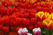 Bright Red Tulip Flowers