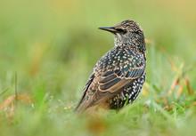 Common Starling (Sturnus Vulga...
