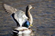Mallard Duck Stretching Its Wi...