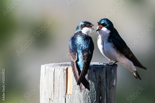 Two Tree Swallows Arguing While Perched on an Old Weathered Wooden Fence Post Tapéta, Fotótapéta