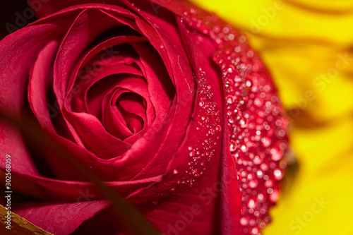 Macro droplets on a rose