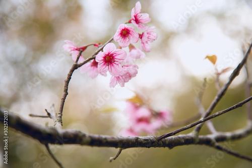 фотография Beautiful cherry blossom or sakura in spring time over  sky
