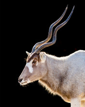 Close Up Portriat Of An Addax Isolated On A Black Background