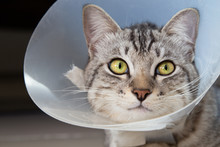 Happy Young American Shorthair Cat In Veterinary Plastic Cone Or E-Collar (Elizabethan Collar) In The Head At Recovery After Surgery. Animal Healthcare And Pet Concept