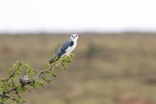 Black-Shouldered Kite Perched ...