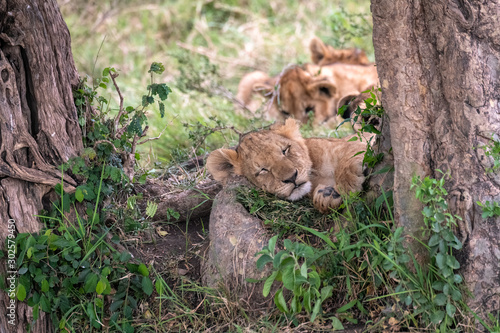 Adorable young lion cub sleeping between two trees, with additional cubs in the background Fototapeta