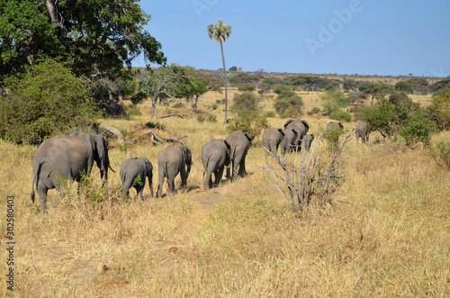 Herd of African elephants walking in a line during the dry season in Tanzania.