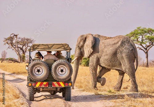 A close encounter between humans and wildlife as a male African elephant (Loxodonta africana), begins to cross a dirt road in front of a safari vehicle.