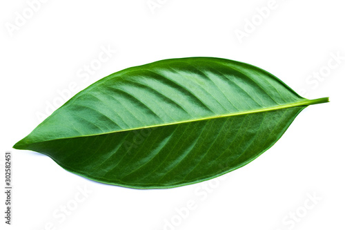 Valokuva  Green leaves isolated on a white background,Chamuang (Thai name) from the leaves of the name Chamuangone has the effect of anti-cancer drugs