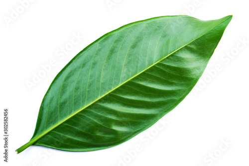 Green leaves isolated on a white background,Chamuang (Thai name) from the leaves of the name Chamuangone has the effect of anti-cancer drugs Canvas-taulu