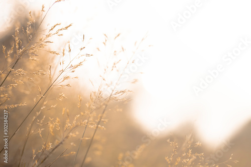 blurry background of feather Pennisetum, Mission grass in sepia vintage tone Tablou Canvas