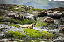 Scottish Fur Seals Resting On ...