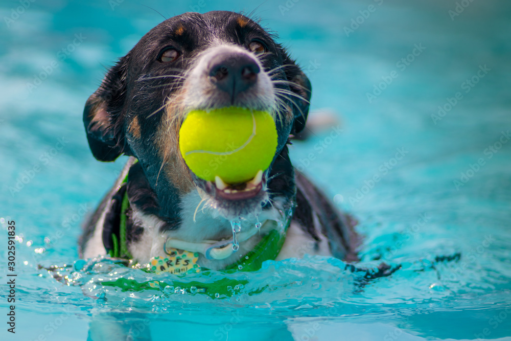 Fototapeta dogs playing and swimming in the pool