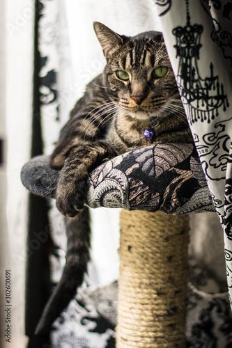 Cat Duchess Pixie II