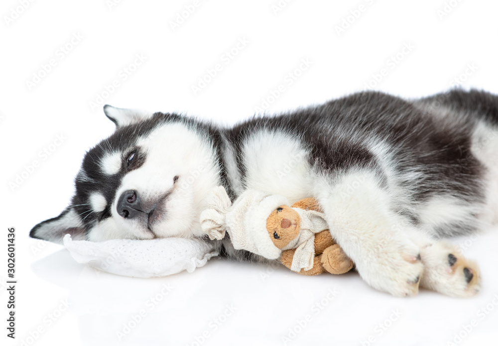 Siberian Husky puppy sleeps with toy bear on a pillow with toy bear. isolated on white background