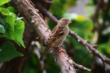 A Female House Sparrow (Passer...