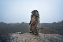 A Marmot Standing On The Rock ...