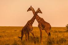 Masai Giraffes (Giraffa Camelo...