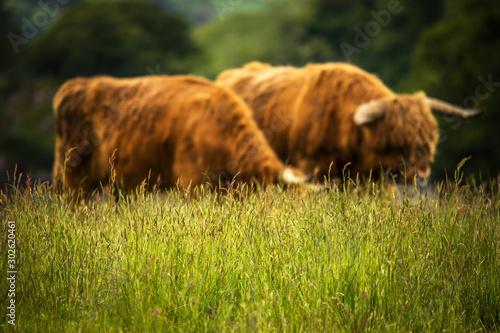 Domestic Scottish highland cattle on nature.