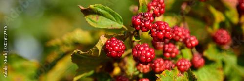 Valokuvatapetti Blackberry fruit growing on branch blackberries in wild