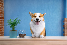 Cute Ginger And White Dog Of W...
