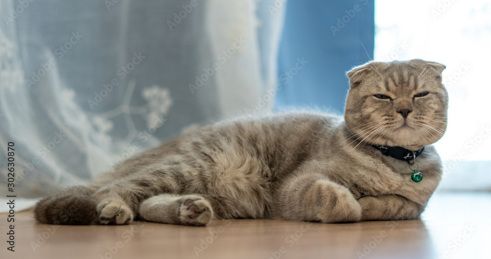 Fototapety, obrazy: The British Shorthair cat cute happy to play pet animal relax sleeps