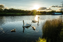 Swans Family In Pond Of City P...