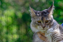 Maine Coon Cat On The Backgrou...