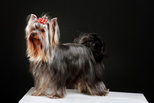 Nice Yorkshire Terrier Dog