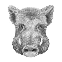 Portrait Of Boar. Hand-drawn Illustration. Vector Isolated Elements.