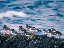 Flock Of Oystercatcher At Peni...