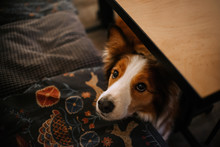 Border Collie Dog Begging From...