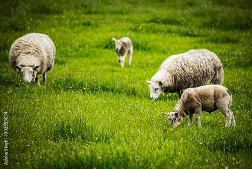 Fototapeta Scenic Scotland meadows with sheep in traditional landscape.