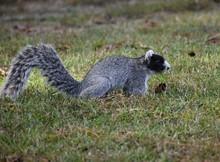 Fox Squirrel. Squirrels. Rare ...