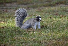 Fox Squirrel. Squirrels. Rare ...